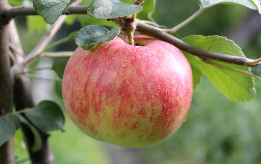 для тела яблоня шафран саратовский описание фото этом